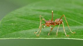 Red ant on leaf in tropical rain forest. Red ant (Oecophylla smaragdina Fabricius) on leaf in tropical rain forest stock video footage