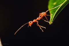 Red ant on a leaves Stock Image