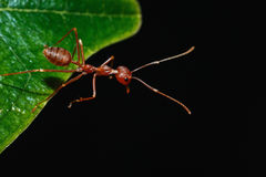 Red ant on a leaves Royalty Free Stock Photos