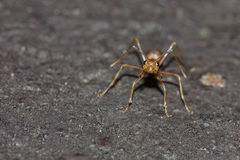 Red ant. Look like have something to say Stock Photography