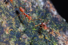 Red ant. Look like have something to say Stock Photos