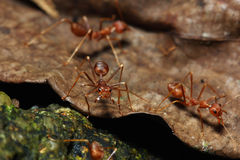 Red ant. Look like have something to say Royalty Free Stock Image