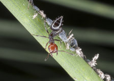 Red ant. Looking for aphids Royalty Free Stock Images