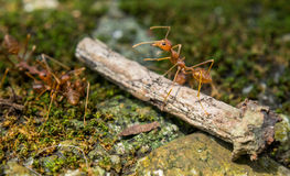 Red Ant Macro Portrait Royalty Free Stock Photo
