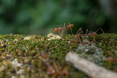 Red Ant Macro Portrait Royalty Free Stock Photography