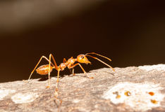 Red ant. Macro shot red ant foraging ,Phayao Thailand Stock Images