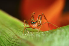 Red ant mimic spider Royalty Free Stock Image