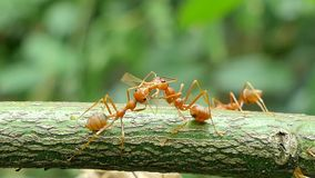 Red ant on branch in tropical rain forest. stock footage