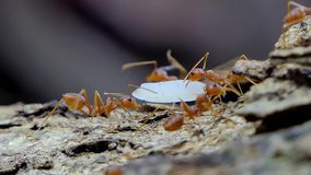 Red ant carrying food on tree. stock footage