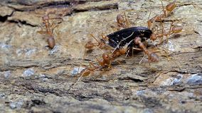 Red ant carrying food on tree. stock video footage