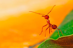 Red ant. With orange background royalty free stock images