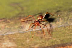 Red ant photo. A photo taken off a red worker ant royalty free stock photography