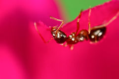 Red ant on a pink flower Stock Photography