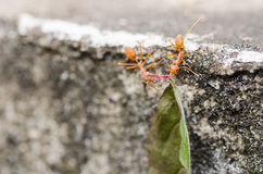 Red ant power Royalty Free Stock Photos