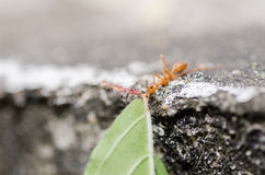Red ant power Royalty Free Stock Photo
