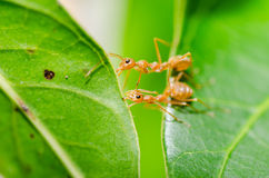 Red ant power Stock Images