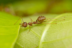 Red ant power work Royalty Free Stock Images