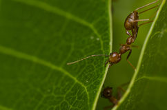 Red ant power work Royalty Free Stock Photos