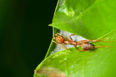 Red ant protecting its home Stock Photos