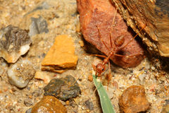 Red ant on rock Royalty Free Stock Images