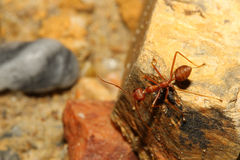 Red ant on rock Stock Images