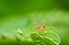 Red ant spider in green nature Stock Photo