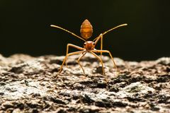 Red ant stand on tree wood look camera ready to fight enemy. One Red ant stand on tree wood look camera ready to fight enemy Royalty Free Stock Images