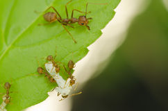 Red ant. Still working on green leaf Royalty Free Stock Images