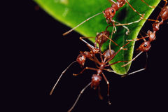 Red Ant team Royalty Free Stock Photos
