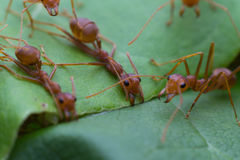 Red ant team work Royalty Free Stock Images