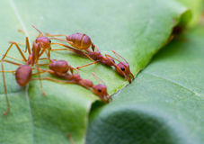 Red ant team work Royalty Free Stock Photos