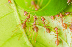 Red ant teamwork building home Royalty Free Stock Image