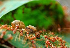 Red ant teamwork on green leaf Stock Images