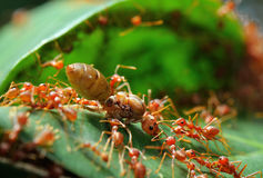 Red ant teamwork on green leaf Stock Photo