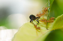 Red ant teamwork in green nature Royalty Free Stock Photo