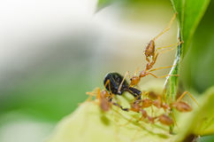 Red ant teamwork in green nature Stock Photography