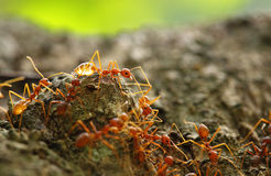 Red ant teamwork Royalty Free Stock Image