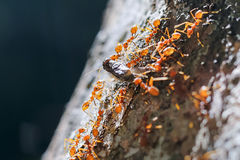 Red ant teamwork moving their prey Royalty Free Stock Photography