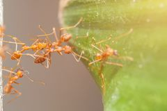 Red ant teamwork Stock Photography