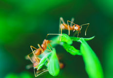 Red ant. Is threatened by its enemies open their mouths wide stock photo