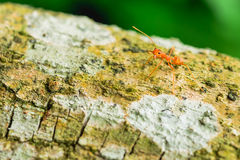 Red ant. Is threatened by its enemies open their mouths wide Royalty Free Stock Photo