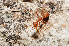 Red ant Stock Photography