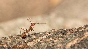 Red ant. Stock Image
