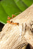 Red ant. Try to protect their nest, Phayao Thailand Royalty Free Stock Photography