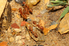 Red ant walking Royalty Free Stock Photos