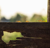 Red ant walking on wood plank Royalty Free Stock Photography