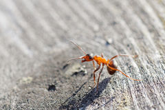 Red ant warrior in agressive pose Royalty Free Stock Photography