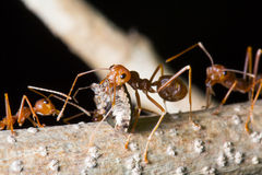 Red ant was carring insect Stock Image