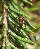 Red ant in the woods Royalty Free Stock Photos