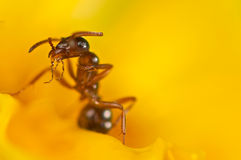 Red ant on a yellow flower Stock Photos